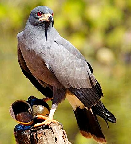 Snail_Kite Pantanal1