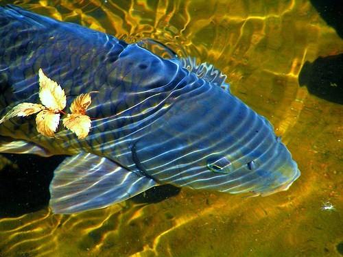 black-carp
